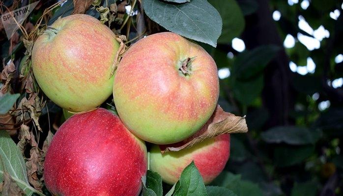 Яблочный рай: какие сорта Азербайджан отправляет в Россию