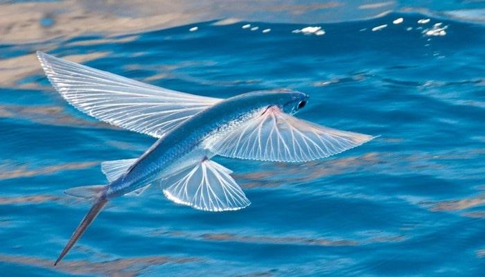 Üzən yox, 80 km/s sürətlə uçan balıq