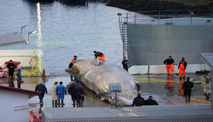 Nəhəng mavi balina ovlandı, qalmaqal yarandı