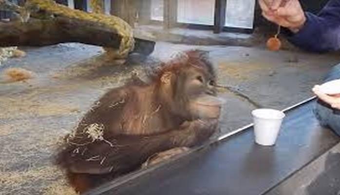 Смех да и только: как обезьяна заценила фокус