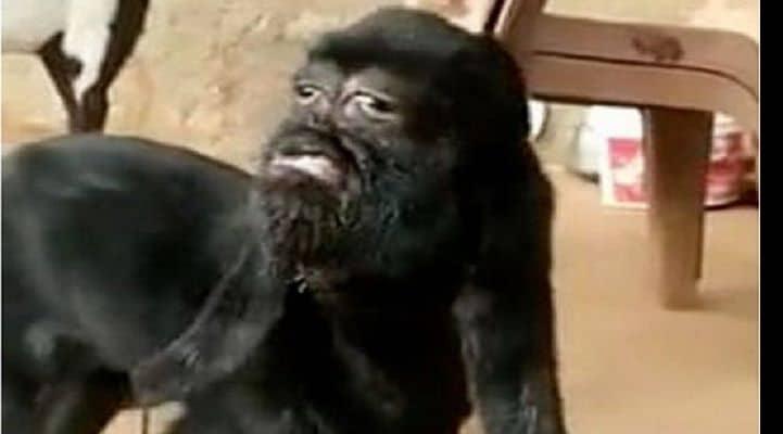 В Индии родился козленок-мутант с «человеческим лицом»