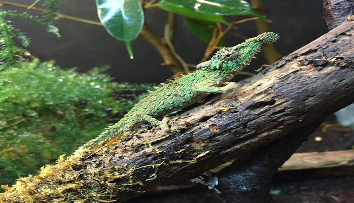 Язык карликового хамелеона является самым быстрым на планете