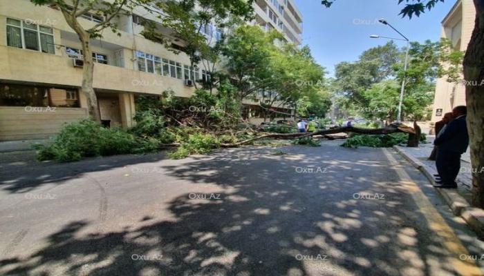 Külək 50 ağacı aşırdı, 14-nü isə kökündən çıxarıb