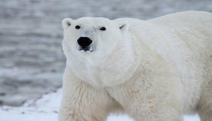 Это настоящий феномен: белый медведь подружился с собакой и погладил его, как человек