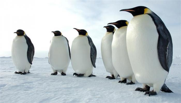 Dünyanın ən iri pinqvininin qalıqları tapıldı