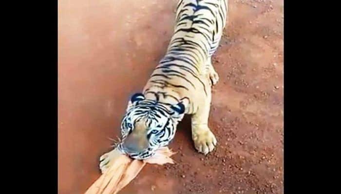 В Индии тигр напал на автобус с туристами