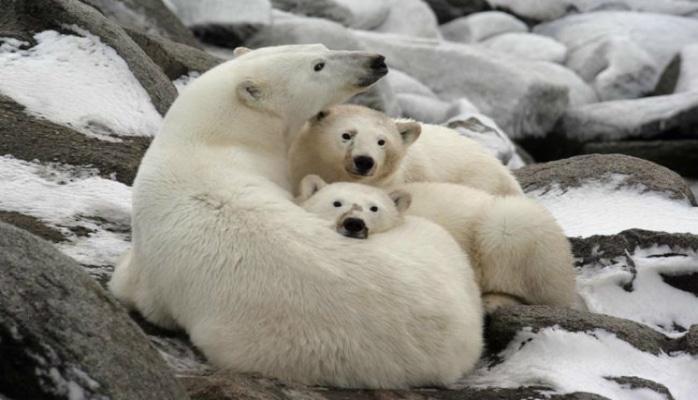 Çukotkada 56 ağ ayı buzların əsiri oldu