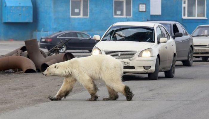 Sibirya'da 40 yıl sonra bir ilk: Aç ve bitkin kutup ayısı şehre indi