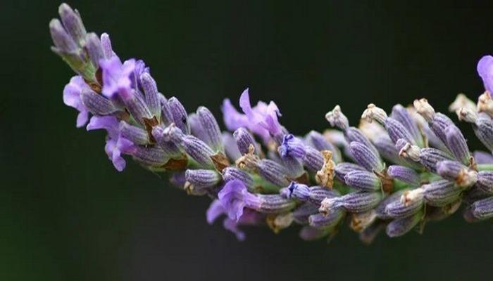7 растений, отпугивающих комаров и мух