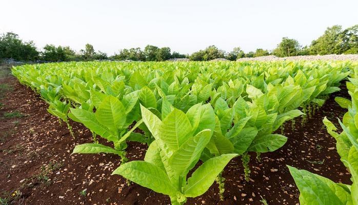 Gələn il Azərbaycanda tütün istehsalının 37%-ə yaxın artacağı gözlənilir