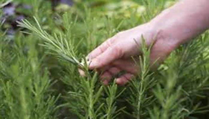 Почему важно носить в карманах листья этого растения