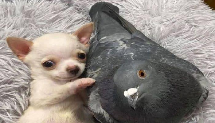 Нежная дружба щенка и голубя умилила сеть