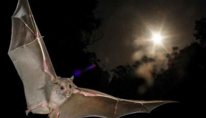 Ориентация по компасу мигрирующих видов летучих мышей зависит от направления заката