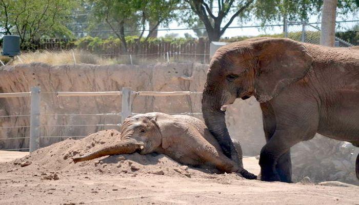 Balasının öldüyünə inanmayan fil onu oyatmağa çalışdı