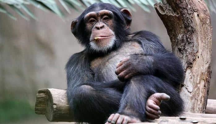 У шимпанзе нашли чисто человеческие чувства