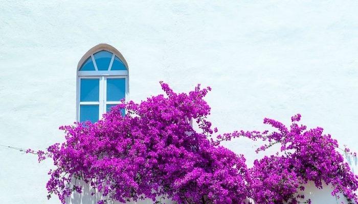Begonvil nasıl çoğaltılır? Begonvil çiçeği bakımı