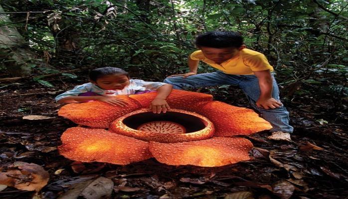 Интересные факты о самом крупном в мире цветке