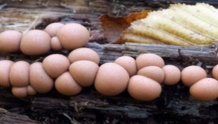 Биотехнолог: гриб ликогала древесинная может прорастать в человеческом организме