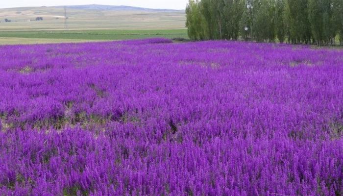 Yozgat'ta tarlalarda açan mor çiçekler görsel şölen sunuyor
