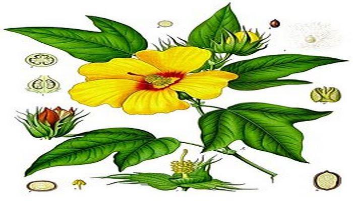 Pambıq (bitki)