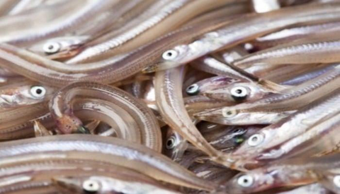 Ученые назвали песчанку важным звеном пищевой цепи морских животных