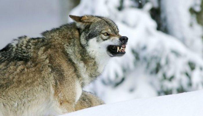 Могут ли чернобыльские волки распространять мутации