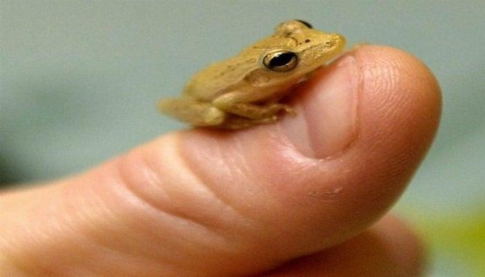 Найден новый вид самых маленьких лягушек