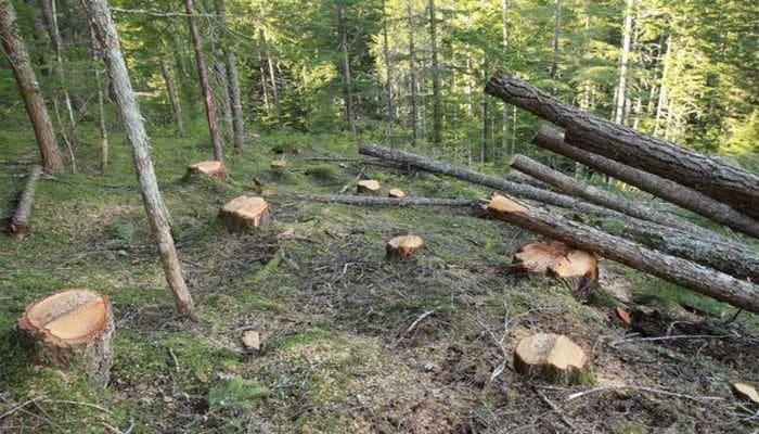 Жителя Хачмаза накажут за незаконную вырубку деревьев
