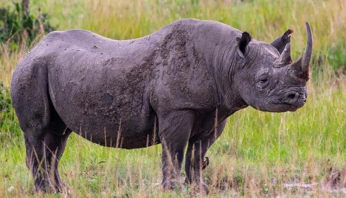 В Малайзии умер последний в стране суматранский носорог