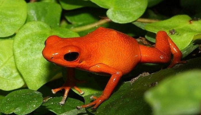 У «тыквенных» лягушек есть кости, которые светятся через кожу