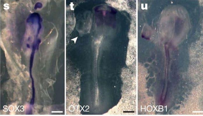 Ученые создали гибрид курицы и человека