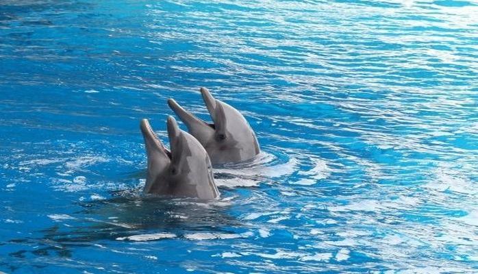 Ученые: Дельфины предпочитают общаться с друзьями по интересам .