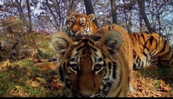"""Sibir pələnginin nadir """"selfie"""" şəkli"""