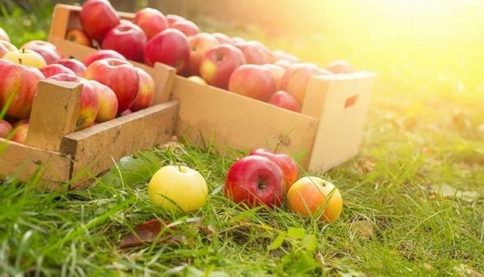 В Губе пропадают тонны яблок