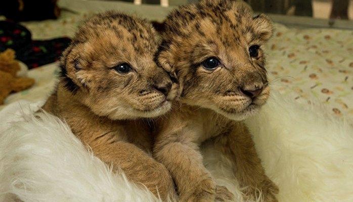 """В ЮАР родились первые в мире """"львята из пробирки"""