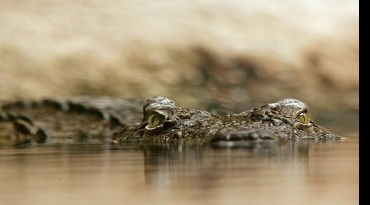 У глубинного крокодила обнаружили древнейшую доброкачественную опухоль