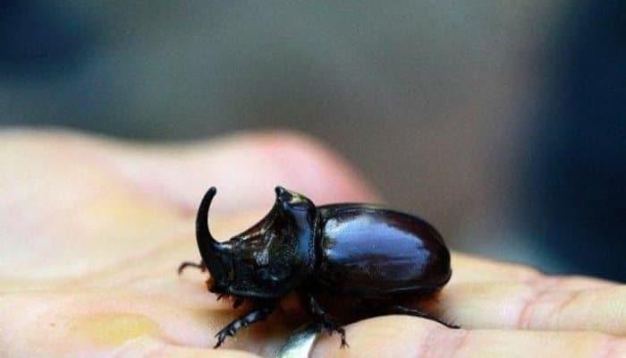 Bingöl'de 'gergedan böceği' bulundu