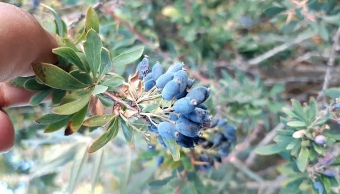 Doğada kendiliğinden yetişen şifalı bitki karamuk neye iyi gelir?