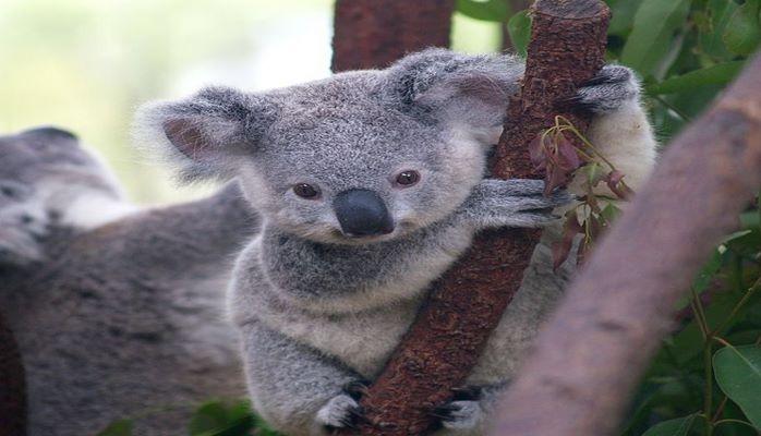 Как собака спасла коалу: трогательная история из Австралии