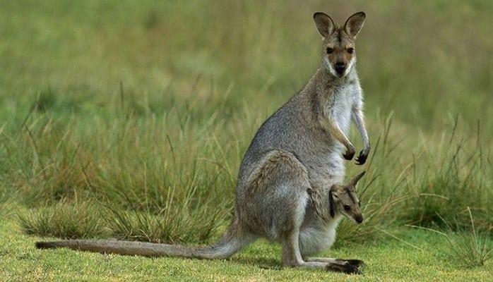 Ученые выяснили, когда возникли кенгуру