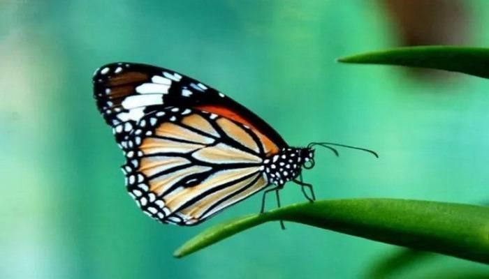Erkek kelebekler rakiplerini alt etmek için dişilere 'bekaret kemeri' takıyor