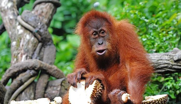 Орангутаны впервые сами сделали крючок для добычи пищи