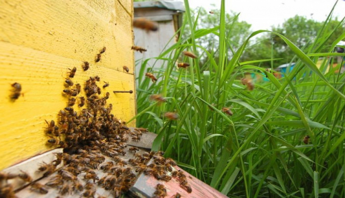 Число пчелиных семей в Азербайджане превысило 500 тысяч