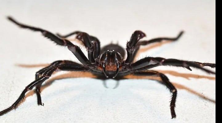 Специалисты предупредили о нашествии пауков со смертельным ядом