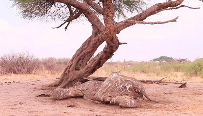 Слоны массово умирают в Африке: страшные кадры из Зимбабве