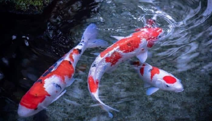 Hanako – 226 il yaşamış balıq