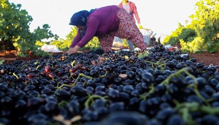 """""""Kilis karası"""" üzümde hasat başladı"""