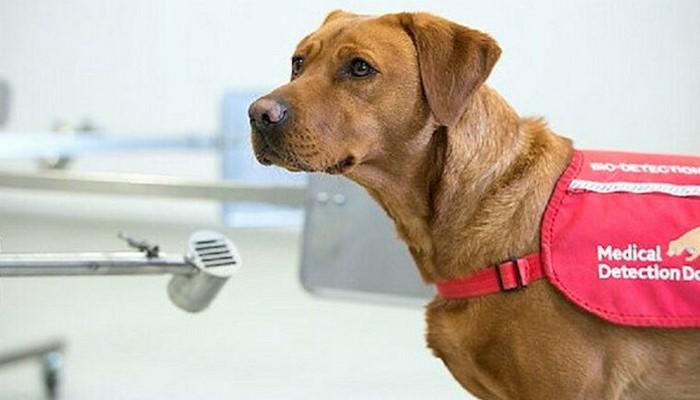 Köpekler saniyeler içerisinde virüslü hastayı tespit ediyor