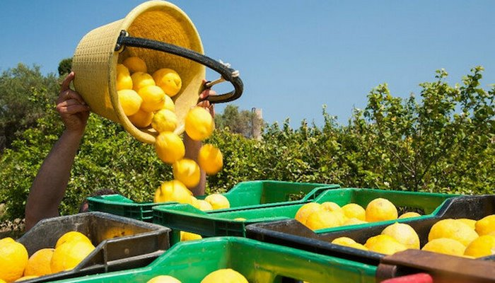 Limonda ihracat izni dört ay sonra kaldırıldı