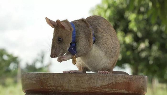 Mayın bularak hayat kurtaran sıçan Magawa'ya altın madalya